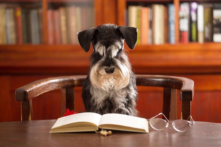 Hund liest ein Buch am Schreibtisch